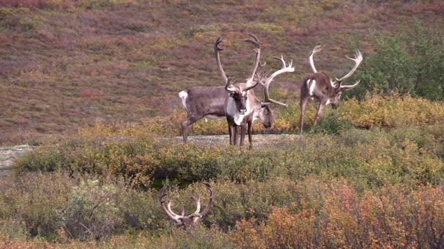 barren ground caribou bulls in velvet - reindeer stock videos and b-roll footage