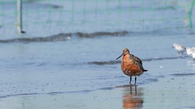 バーテールゴッドウィット夏の羽毛 ビデオ