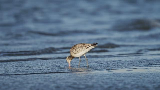 bar-tailed godwit - илистая пойма стоковые видео и кадры b-roll