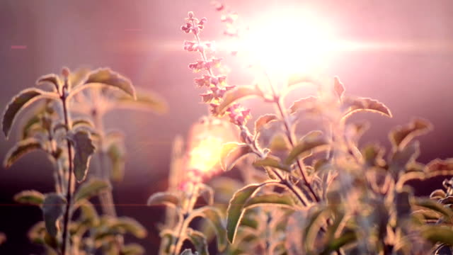 Basil leaf swinging in the wind on sunny sky with vintage look. video