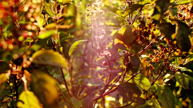 Basil Leaf video