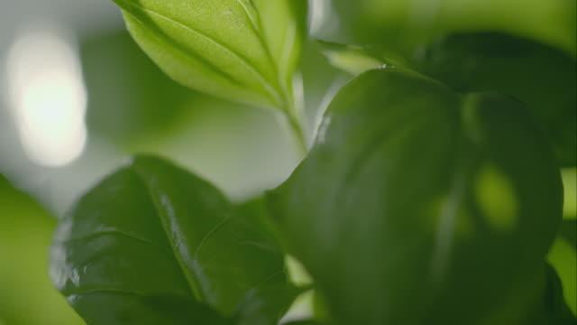 basil plant - basilika ört bildbanksvideor och videomaterial från bakom kulisserna