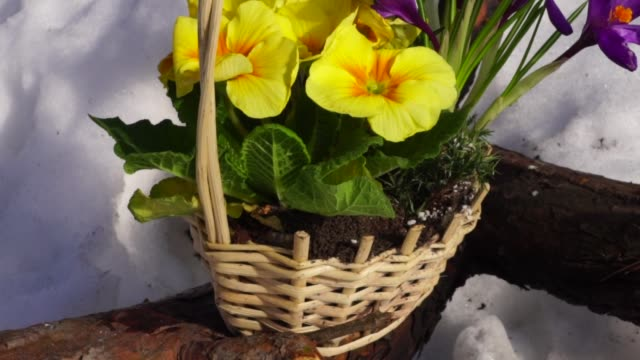 basket of flowers stands on a wooden log in a snowy forest. basket of flowers stands on a wooden log in a snowy forest. first occurrence stock videos & royalty-free footage