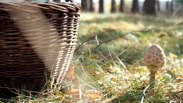 korg med parasoll svamp i en skog. video - höst plocka svamp bildbanksvideor och videomaterial från bakom kulisserna