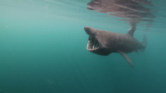 Basking Shark A giant Basking Shark slowly swimming with its mouth open as it feeds on plankton found in the water.  Basking Sharks are the second largest fish in the Ocean and can grow up to 12 meters / 40 feet long! basking shark videos stock videos & royalty-free footage