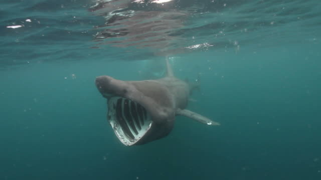 Basking Shark A giant 6 meter/ 20 feet long Basking Shark swims towards the camera with its mouth wide open.  Basking Sharks are plankton eaters and need to sieve huge volumes of water through their gills in order to feed. basking shark videos stock videos & royalty-free footage