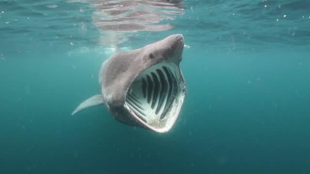 Basking Shark video