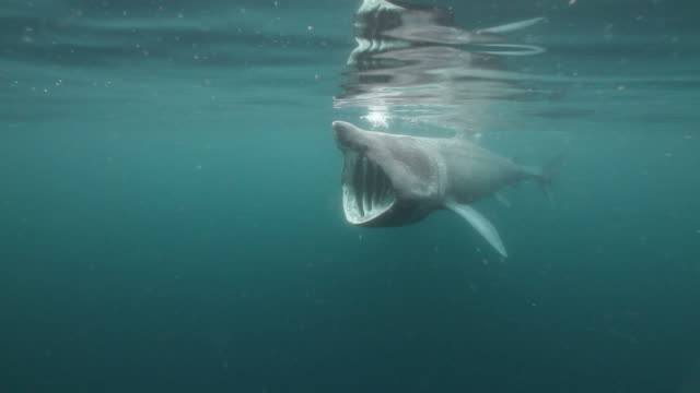 Basking Shark A Basking Shark feeding on zoo plankton near the surface. basking shark videos stock videos & royalty-free footage
