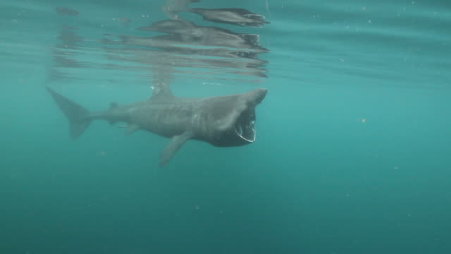 Basking Shark A Basking Shark feeding on plankton at the surface. basking shark videos stock videos & royalty-free footage