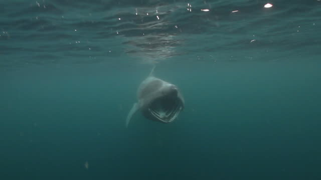 Basking Shark A Basking shark seen near Mull, Scotland. basking shark videos stock videos & royalty-free footage