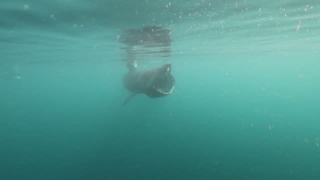 Basking Shark A Basking Shark feeding on Zoo Plankton on a calm Summers day. basking shark videos stock videos & royalty-free footage