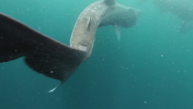 Basking Sharks Two clips of giant 6 meter/ 20 feet long Basking Sharks swimming and feeding in the North Atlantic Waters off the west coast of Scotland. basking shark videos stock videos & royalty-free footage