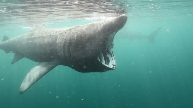 Basking Sharks Basking Sharks feeding on plankton at the surface. basking shark videos stock videos & royalty-free footage