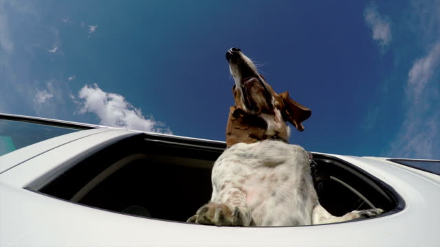 Basset hound with head out of car window with flapping ears