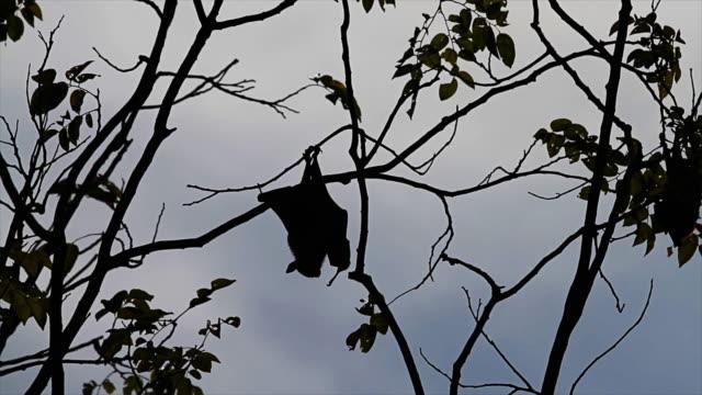 Bat - Animal. video