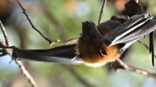 Bat - Animal video