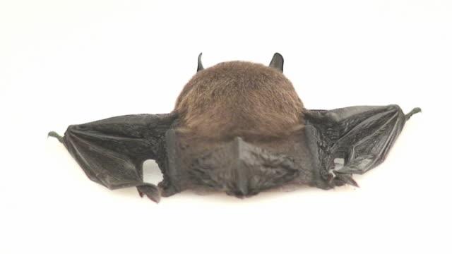 Bat butt video