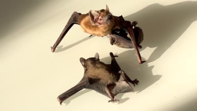 vídeos y material grabado en eventos de stock de cachorro de murciélago chupa leche bajo su ala - halloween covid