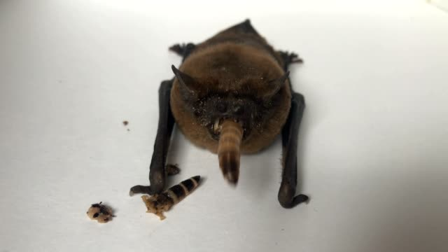 Bat eating worm , hangs on the curtain with her cub Bat with mouse there worm hangs on the curtain halloween covid stock videos & royalty-free footage