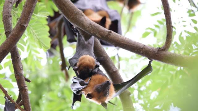 Bat (Flying fox) hanging on a tree video