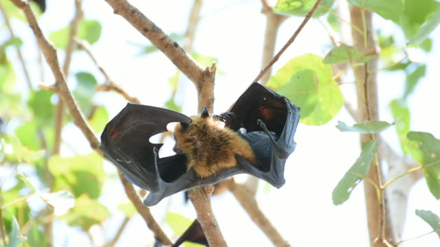 Bat (Flying fox) hanging on a tree video
