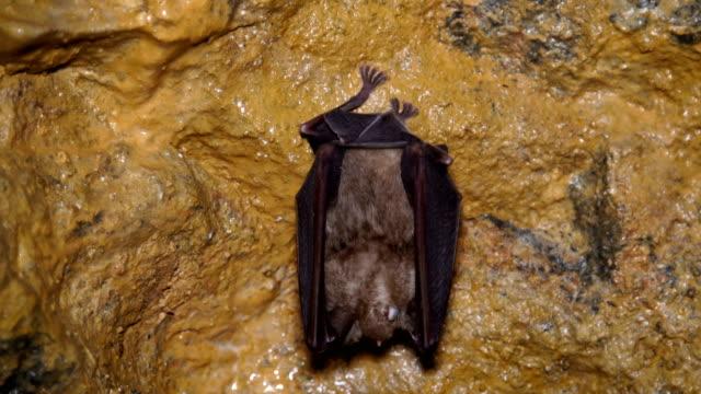 Bat in the cave,close up