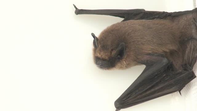 Bat in white video