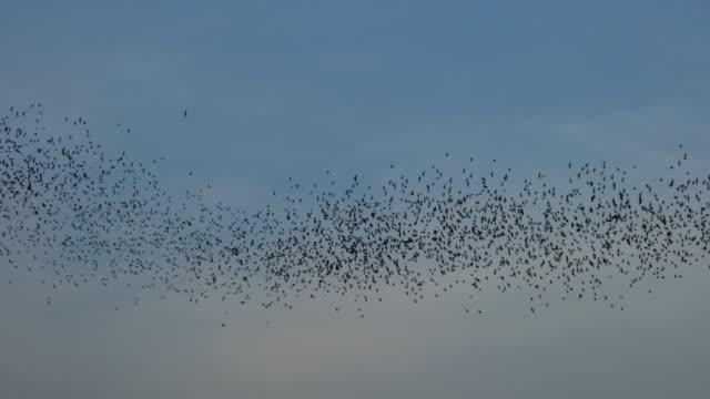 Bat swarm flying on blue sky video