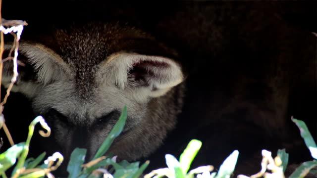 Bat-Eared Fox, science names 'Otocyon megalotis' sleep in the hole video
