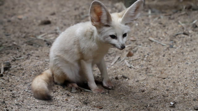Bat-eared fox – Video