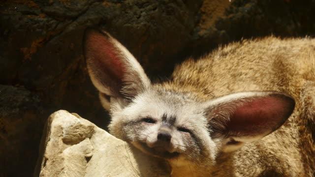 bat-eared fox. - fox stock videos and b-roll footage