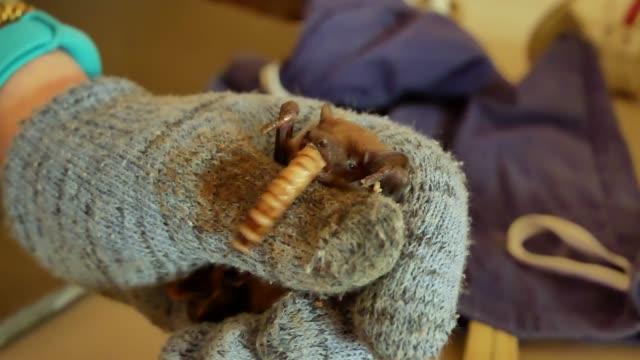 Bats eat worms after winter hibernation video