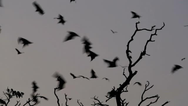 Bats flying in sky video
