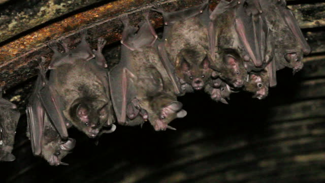 Bats hanging from the roof of a road culvert video