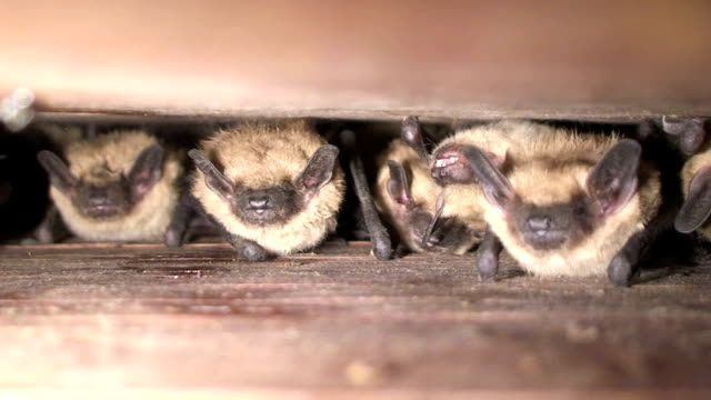 bats in batbox - appollaiarsi video stock e b–roll
