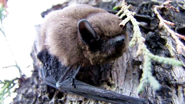 Bat's Snout video