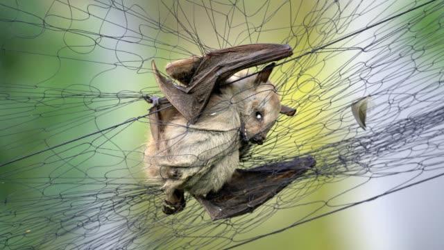 vídeos y material grabado en eventos de stock de los murciélagos, la fuente de tantos virus, podrían ser el origen del coronavirus de wuhan. - wuhan