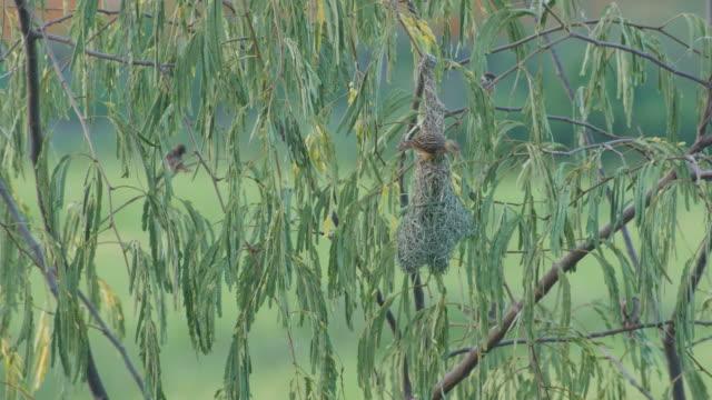 baya weber bauen nest - nest stock-videos und b-roll-filmmaterial
