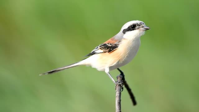 Bay-backed Shrike Bird video