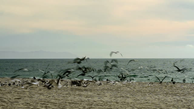 Beach Birds and Jogger Sea birds take off and fly around as a jogger heads towards them on the beach. pelican stock videos & royalty-free footage