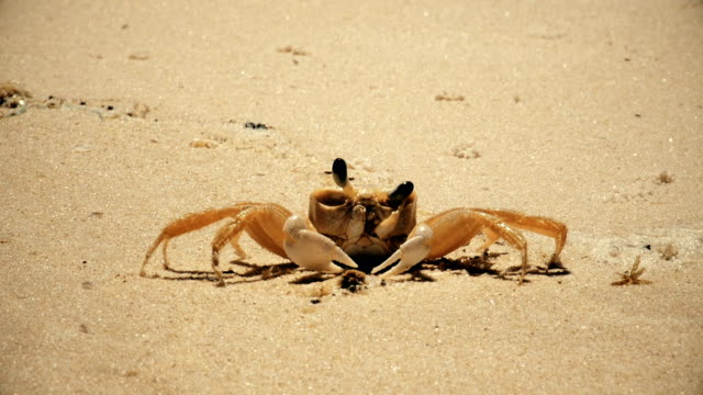 beach crab close up cleaning eyes and walking - granchio video stock e b–roll