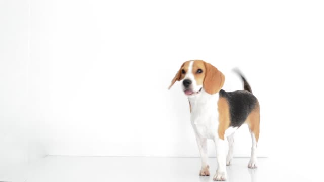 Beagle dog isolated on white background footage HD