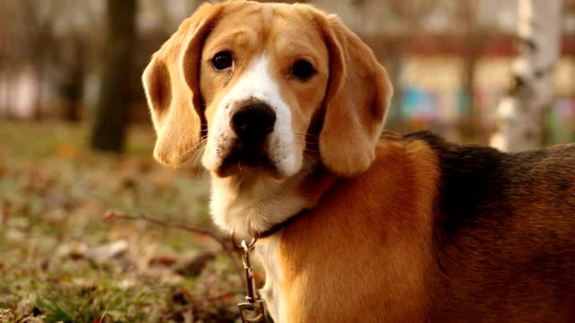 A beagle dog portrait in autumn park