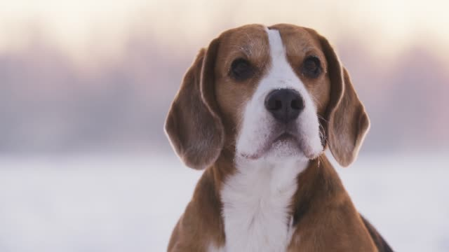 beagle dog sittin on snow and shaking from the cold slow motion 180fps beagle dog sittin on snow and shaking from the cold slow motion 180fps, winter time hound stock videos & royalty-free footage