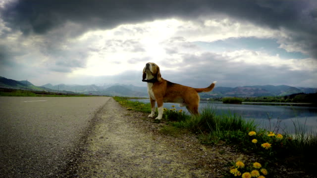 Beagle dog smells wind camera traveling effect Beagle dog smells wind camera traveling effect hound stock videos & royalty-free footage