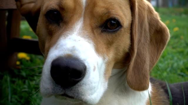 Beagle dog turning his head towards camera, close up Beagle dog turning his head towards camera, close up hound stock videos & royalty-free footage