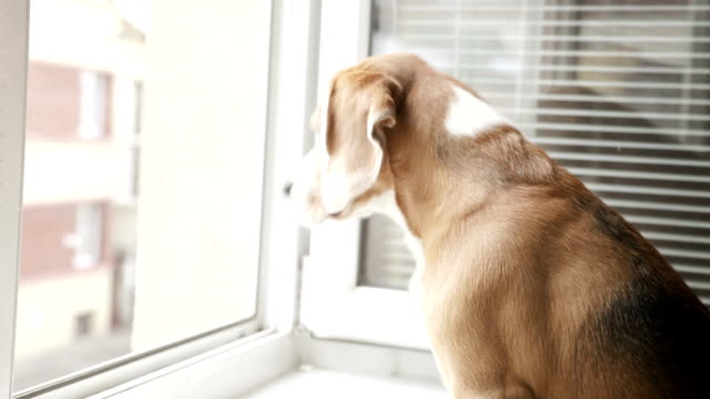 Beagle is looking out the open window to the street expecting its master to come home video