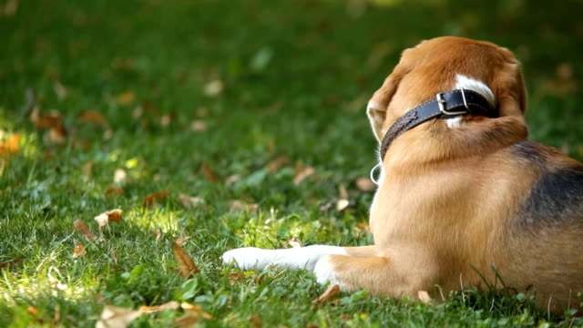 Beagle lying on green grass in park turning its head