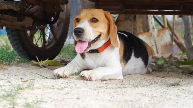 Beagle on ground video