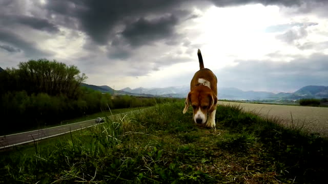 Beagle on the hunt: sniffing for prey video